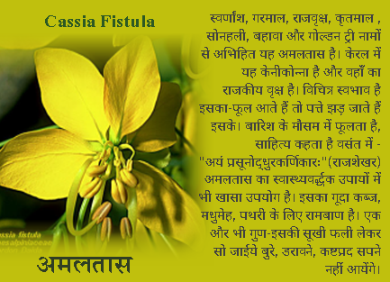 Cassia Fistula -Amalatas